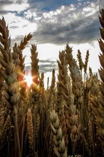 豐收的麥子麥穗圖片壁紙