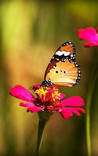 动物壁纸 蝴蝶唯美写真手机壁纸
