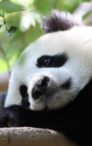 动物壁纸 熊猫壁纸 可爱熊猫手机高清壁纸   扫描二维码下载壁纸到
