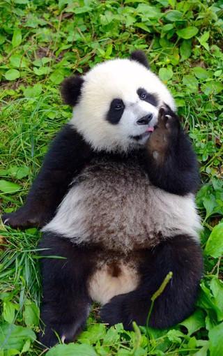 动物壁纸 熊猫壁纸 可爱熊猫手机壁纸   (47/50) 扫描二维码下载壁纸