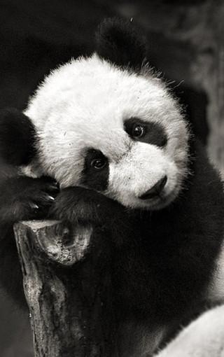 动物壁纸 熊猫壁纸 可爱熊猫手机壁纸   (24/50) 扫描二维码下载壁纸