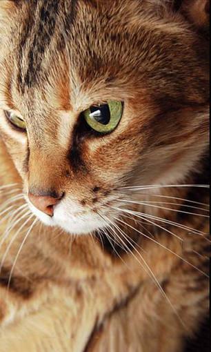 壁纸 动物 猫 猫咪 小猫 桌面 306_510 竖版 竖屏 手机