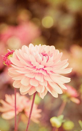 唯美风景花朵壁纸 第4页-zol手机壁纸