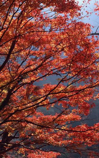 风景壁纸 自然风景壁纸 枫树高清手机壁纸   (47/49)