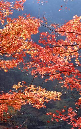 風景壁紙 自然風景壁紙 楓樹高清手機壁紙   (11/49)