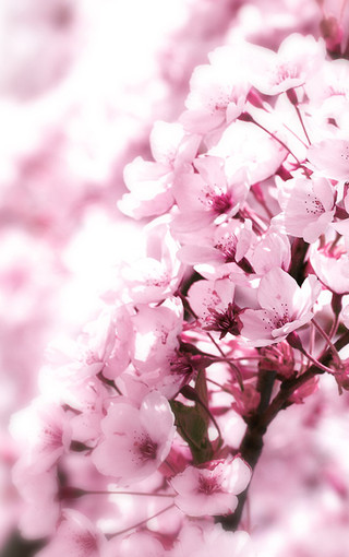 风景壁纸 粉红色的花朵安卓手机壁纸