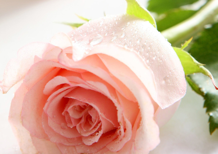 玫瑰花自然高清手机壁纸