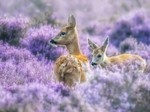 森林里可爱小鹿桌面壁纸