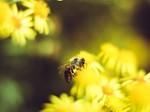蜜蜂和花图片大全壁纸