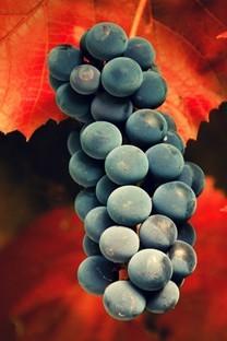 葡萄架上的一串串葡萄图片壁纸