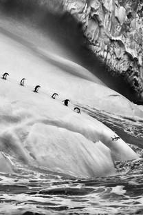 憨厚可爱南极企鹅图片壁纸