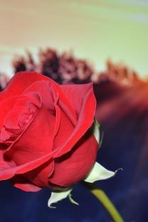 唯美玫瑰花朵图片桌面壁纸