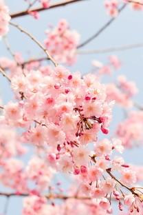 粉色花背景图片桌面壁纸