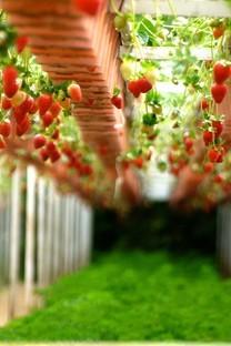 清新草莓图片高清桌面壁纸