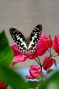 最稀蝴蝶高清手机图片壁纸