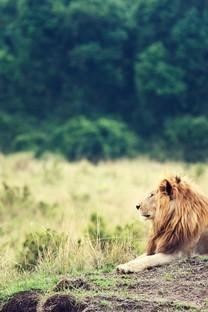 可爱小狮子图片壁纸