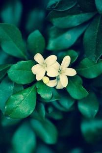 清爽护眼花卉手机壁纸