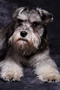 狗狗可爱手机壁纸图片