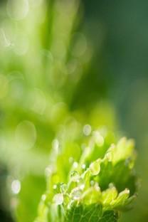 绿色护眼iPhone 6 Plus壁纸