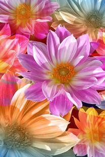 Photoshop花卉作品手机壁纸