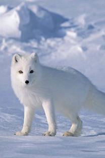 雪中的动物手机壁纸