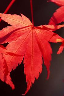 秋天的红叶美景手机壁纸