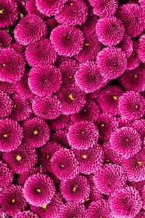 鲜花满屏摄影手机图片壁纸