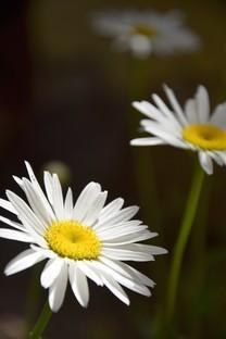近距花朵图片摄影手机壁纸