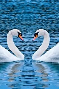 美丽天鹅自然风光图片壁纸