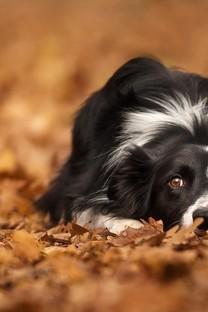 秋天落叶中玩耍可爱的狗狗图片壁纸
