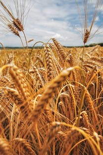 摄影秋天田野收麦子唯美背景图片壁纸