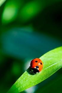 漂亮的红色瓢虫特写iPhone 5S壁纸