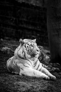 老虎高清动物摄影图片壁纸