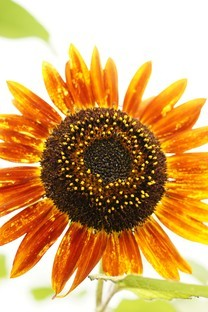 象征着太阳的向日葵图片壁纸