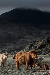 蓝天白云下的牛群高清图片壁纸