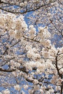 满树烂漫樱花树图片壁纸