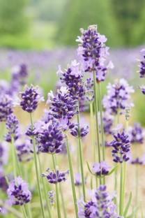 清新唯美紫色小花图片壁纸