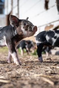 憨憨的可爱小猪图片壁纸2