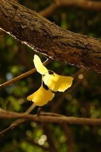 秋天银杏叶唯美风景图片壁纸