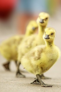 呆萌可爱小鸭子图片壁纸