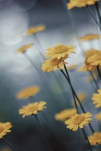 黄色的花朵最先开背景图片壁纸2