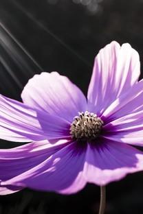 唯美紫色系植物花卉高清图片壁纸
