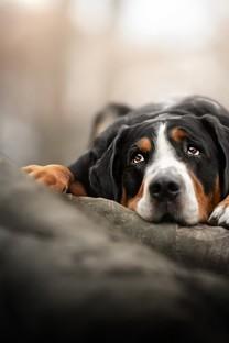 可爱的唯美小狗壁纸