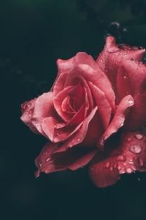 高清玫瑰花桌面图片壁纸2