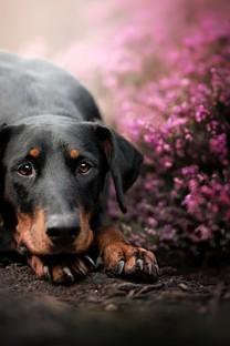 花丛中的狗狗手机壁纸