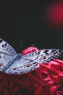 好看的蝴蝶背景图片壁纸