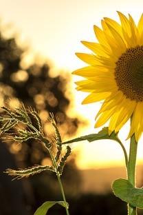 唯美意境向日葵图片壁纸