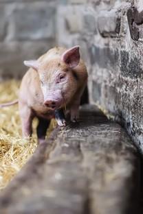保持可爱适度撒娇可爱小猪图片壁纸