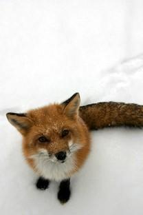 可爱小狐狸图片壁纸大全