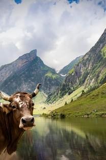 可爱的牛摄影高清图片壁纸2